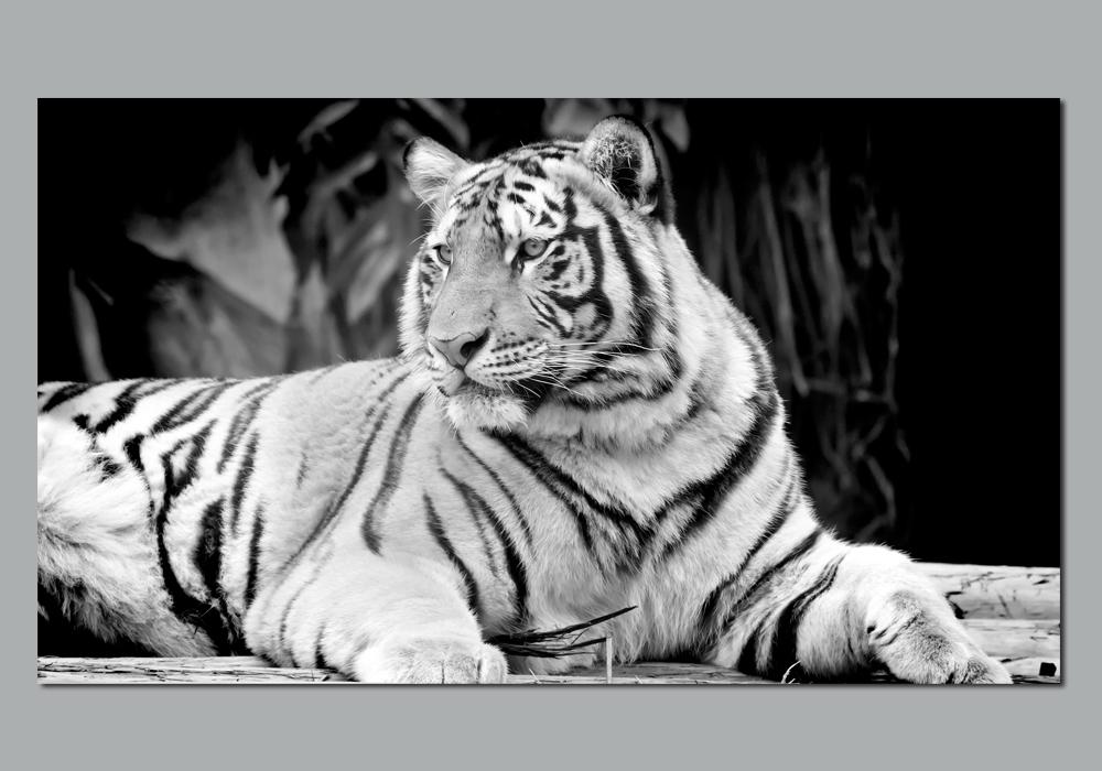 autocolantes decorativos poster autocolante tigre. Black Bedroom Furniture Sets. Home Design Ideas
